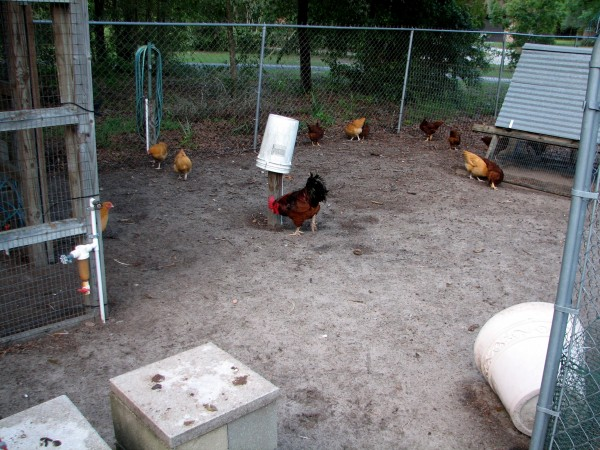 The chicken yard